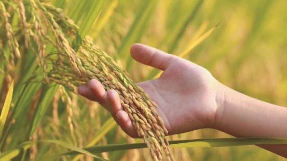 Arroz: El 25% de la zafra de 20/21 está vendida —  Agricultura — Dinámica Rural | El Espectador 810