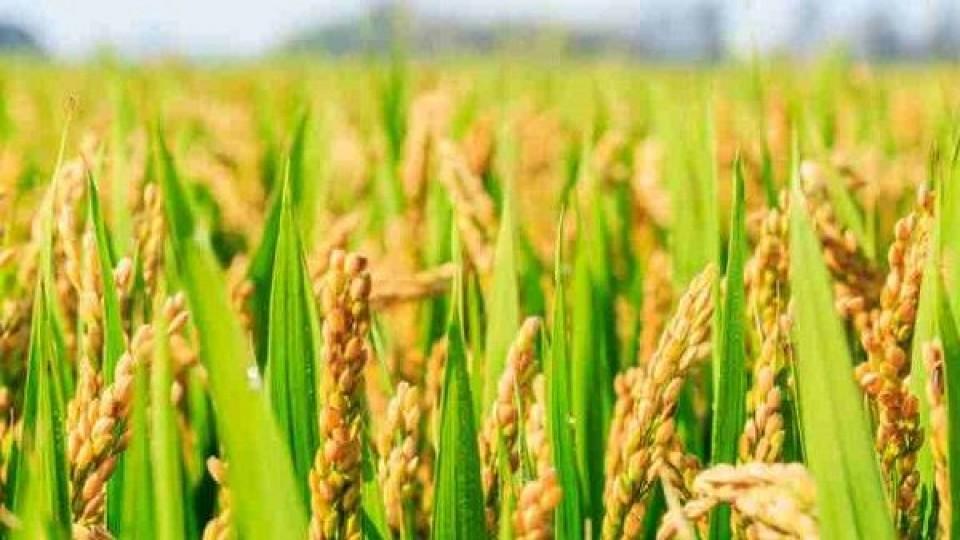 ACA estima un aumento del área de 15% para la zafra que viene —  Agricultura — Dinámica Rural   El Espectador 810