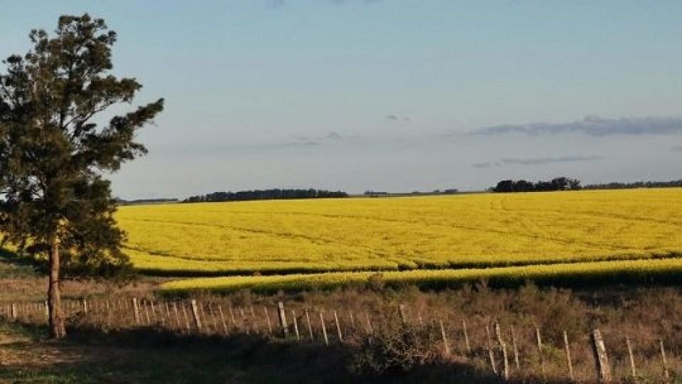 Hay expectativas de muy buenos rendimientos en colza —  Agricultura — Dinámica Rural | El Espectador 810