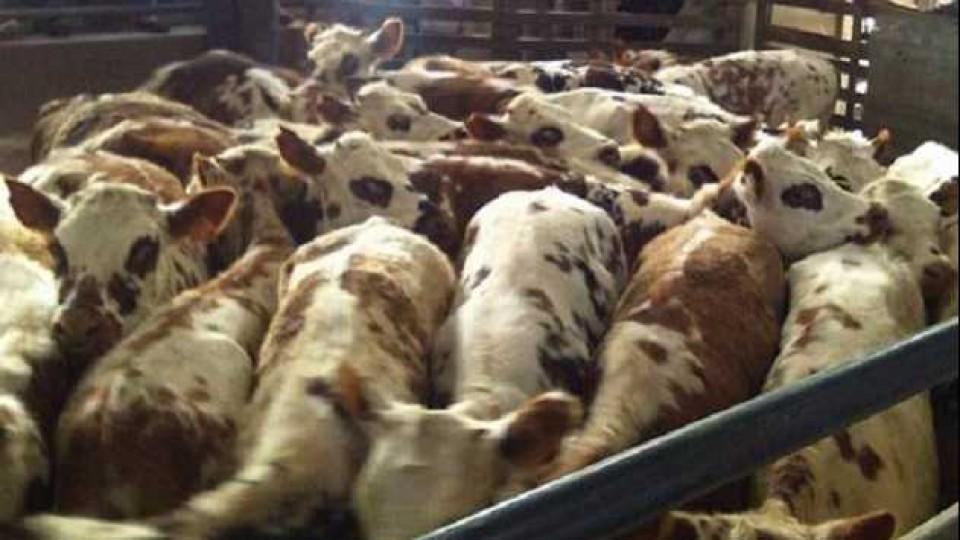 Deja de operar el tambo 'El Caburé' de Caorsi, destacado por su genética Normando —  Lechería — Dinámica Rural | El Espectador 810