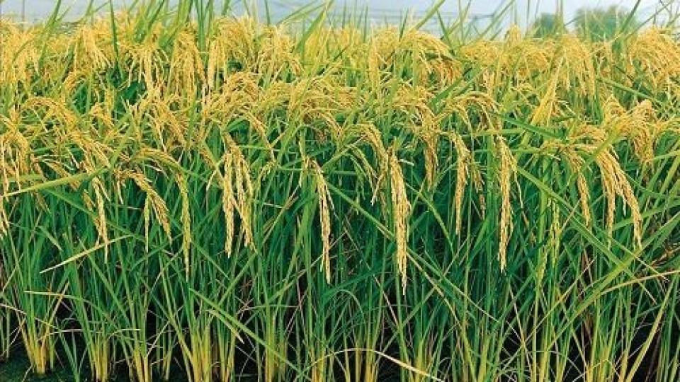 Arroz: Entre la diversificación, ambiente y rentabilidad —  Agricultura — Dinámica Rural | El Espectador 810