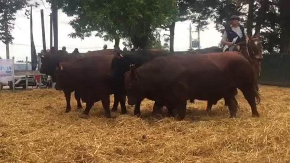 'Las Bichas' ofrece lo mejor de su genética este miércoles —  Ganadería — Dinámica Rural | El Espectador 810