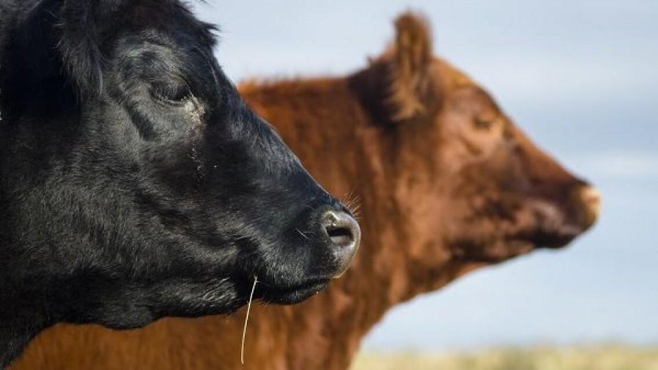 El 51% de los reproductores vendidos en la zafra 2019 correspondió a la raza Angus —  Ganadería — Dinámica Rural | El Espectador 810