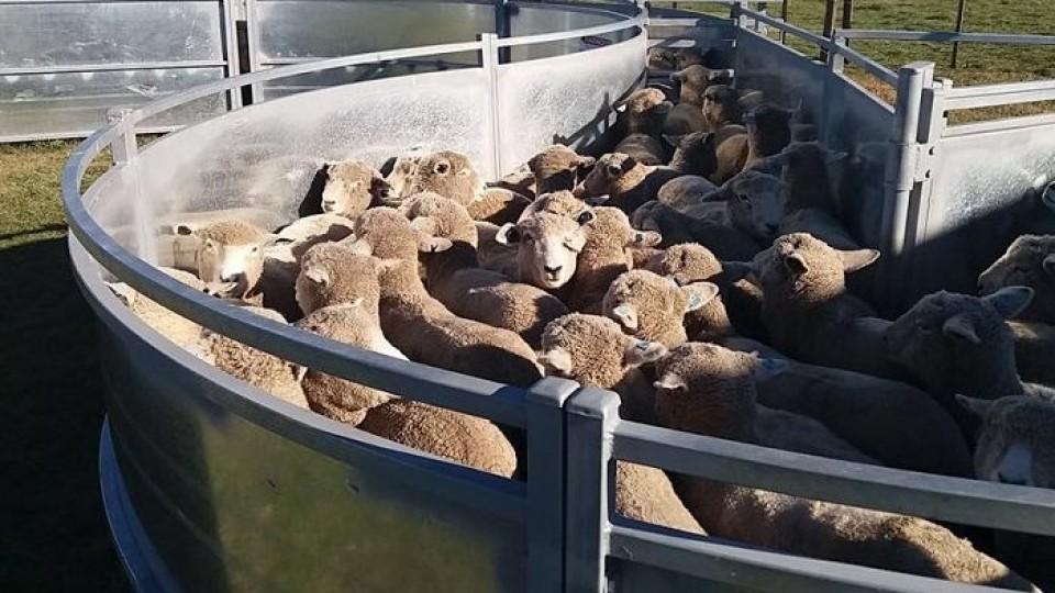 El Operativo Ovinos 2019 podría reflejar una faena de 70.000 corderos —  Ganadería — Dinámica Rural | El Espectador 810