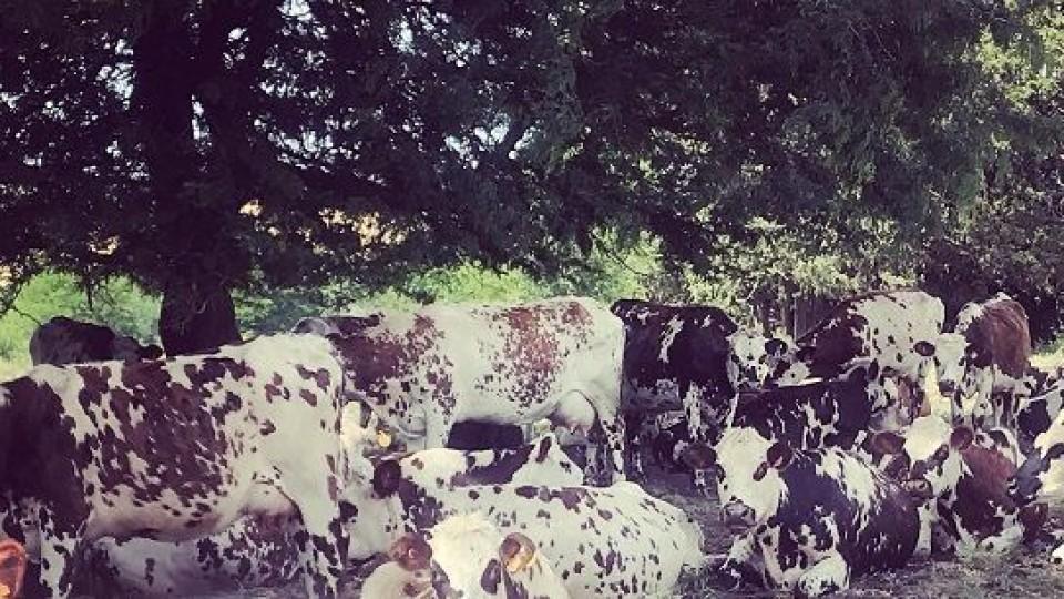 Normando: más que carne y leche, una raza de precisión —  Ganadería — Dinámica Rural | El Espectador 810