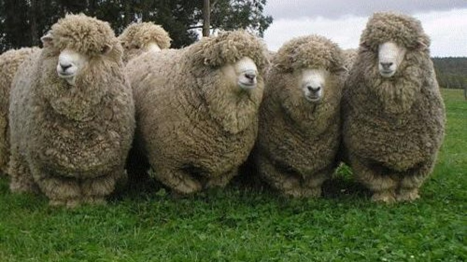 La zafra de carneros promete buena demanda por genética —  Ganadería — Dinámica Rural | El Espectador 810