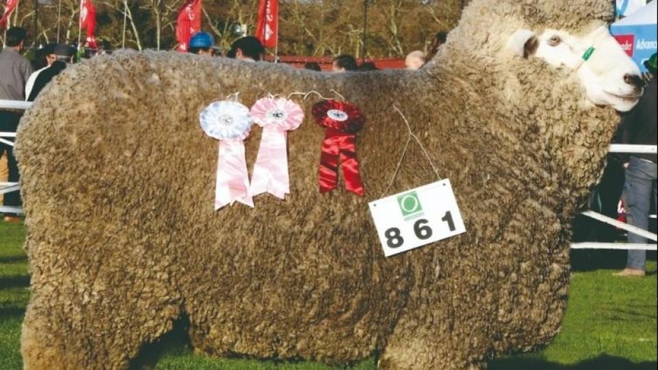 'La Lucha', con 300 Corriedale de plantel y de campo, realiza su segundo remate —  Ganadería — Dinámica Rural | El Espectador 810