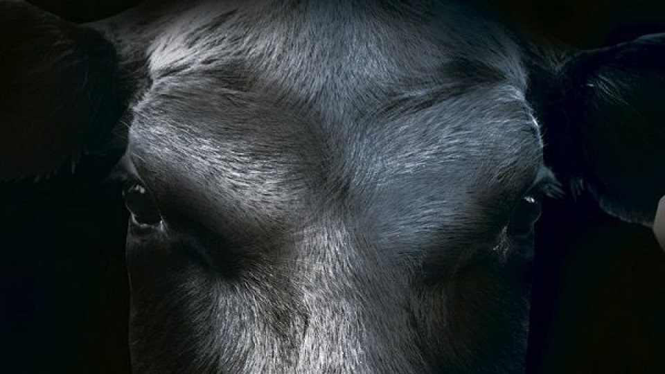 En Punta del Este, la Gala Angus trae genética de élite en su 15a edición —  Ganadería — Dinámica Rural | El Espectador 810