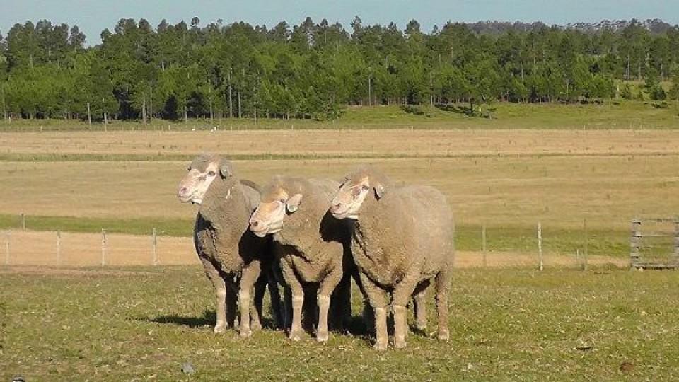 'La Empastada' vende sus Merinos Dohne, Asutraliano, y Red Angus —  Ganadería — Dinámica Rural | El Espectador 810