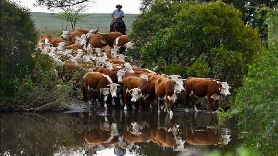 Haciendas : 'Con dificultad para concretar negocios' se produjo un nuevo ajuste en los precios —  Ganadería — Dinámica Rural | El Espectador 810