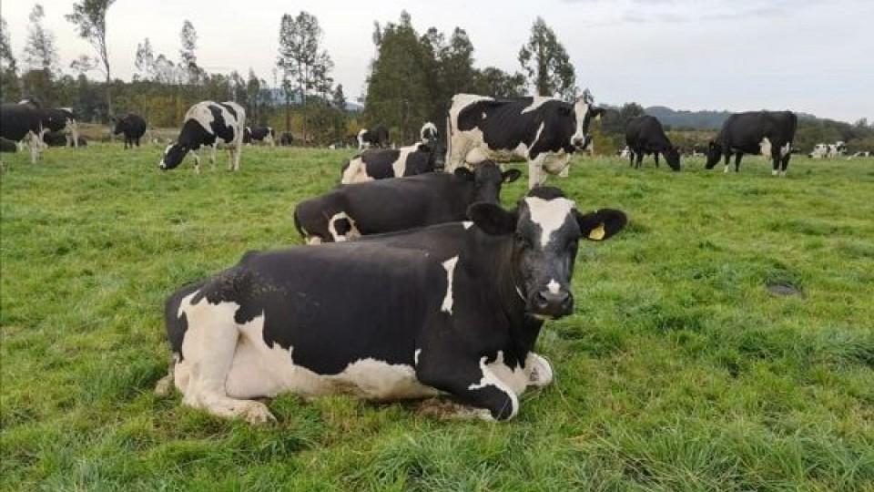La lechería en Chile da garantías al consumidor, con sanidad, inocuidad y tecnología —  Lechería — Dinámica Rural | El Espectador 810