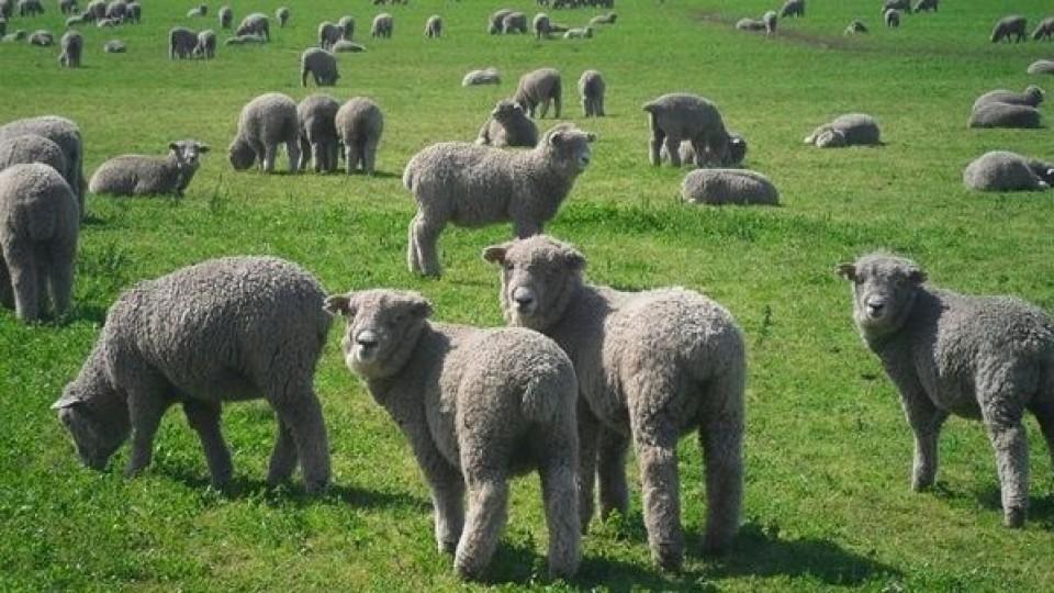 Más producción con la misma cantidad de ovejas  —  Ganadería — Dinámica Rural | El Espectador 810