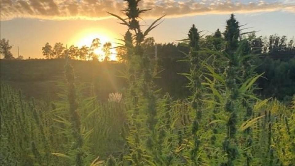 Innovación: En la próxima siembra el Cannabis tendrá trazabilidad —  Agricultura — Dinámica Rural | El Espectador 810