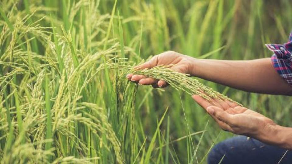 Arroz: El BROU presenta soluciones al endeudamiento del sector arrocero —  Economía — Dinámica Rural | El Espectador 810