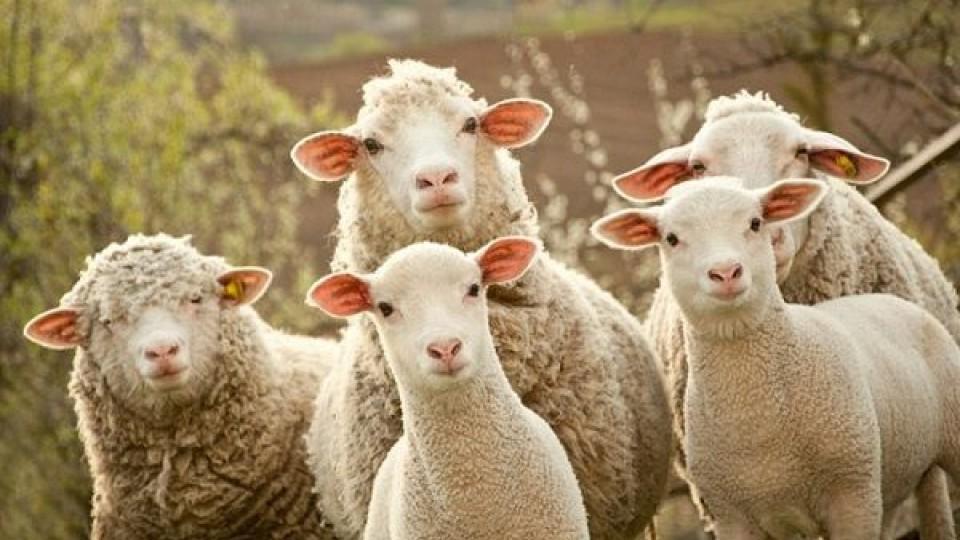 INIA: El Índice de Preñez en ovinos se ubicó en 93.6% —  Ganadería — Dinámica Rural | El Espectador 810