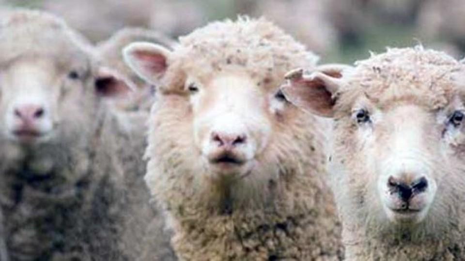 Parásitos en ovinos: Ventajas de la prevención  —  Ganadería — Dinámica Rural | El Espectador 810