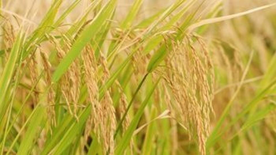 México 'nuevamente dio el sí al arroz uruguayo' —  Agricultura — Dinámica Rural   El Espectador 810