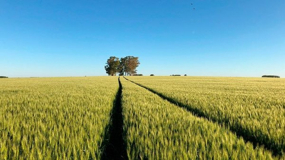 Trigo: El 22.4% de la siembra en Uruguay proviene de ADP —  Agricultura — Dinámica Rural | El Espectador 810