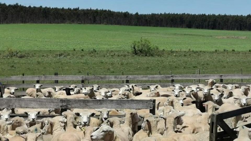 Uruguay puede exportar ovinos en pie a Brasil —  Ganadería — Dinámica Rural | El Espectador 810
