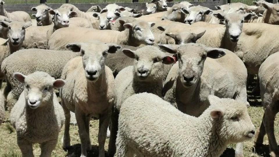 ''Vamos por más corderos'', capitalizando el trabajo del año —  Ganadería — Dinámica Rural | El Espectador 810