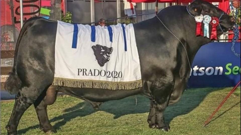 En Angus, ''Pipo'' de San Gregorio Ganadera Ltda va por ser el mejor toro del mundo —  Ganadería — Dinámica Rural | El Espectador 810