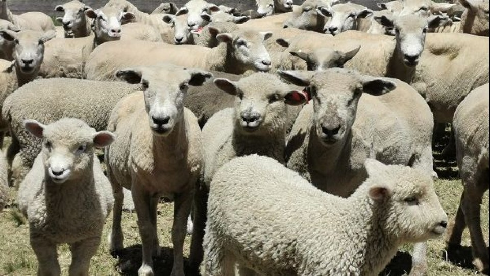 Operativo ovinos: El precio promedio fue de 3.30 dólares —  Ganadería — Dinámica Rural | El Espectador 810