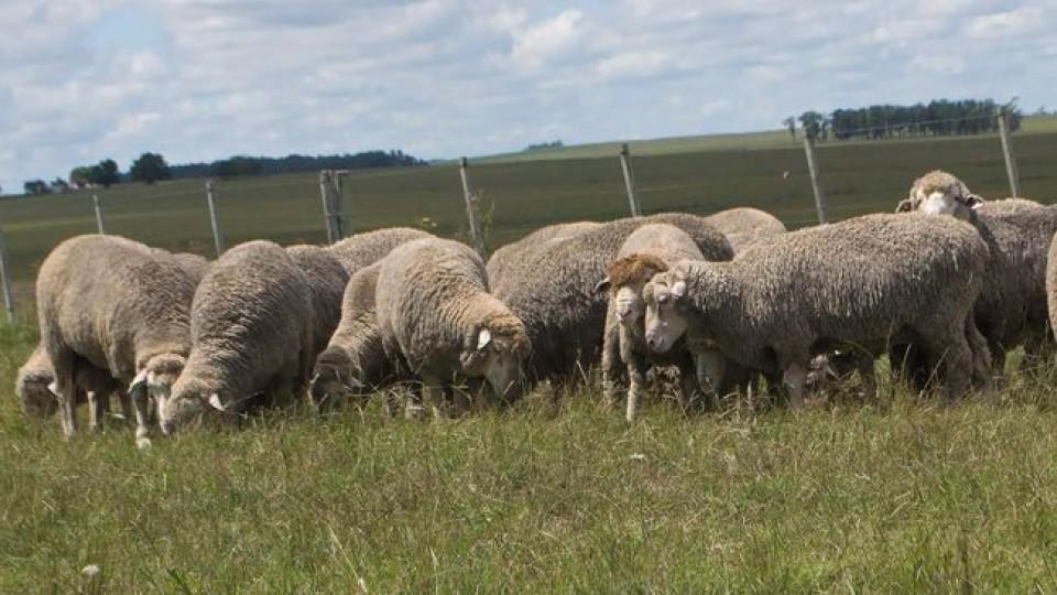 ''La Empastada'' rematará sus Merino Dhone y Merino Australiano, producidos 100% a pasto —  Ganadería — Dinámica Rural   El Espectador 810