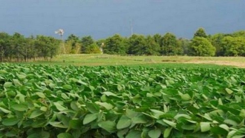Argentina: Las lluvias mejoran expectativas de rendimiento en soja —  Agricultura — Dinámica Rural | El Espectador 810