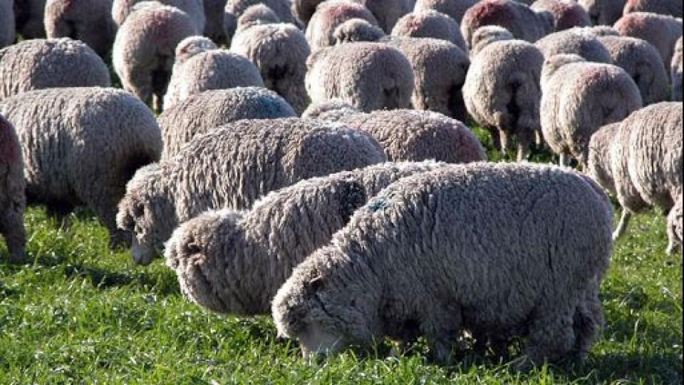 G. Araújo: ''Datos objetivos, precios de la carne y repunte de la lana generan expectativas para la zafra de carneros'' —  Ganadería — Dinámica Rural   El Espectador 810