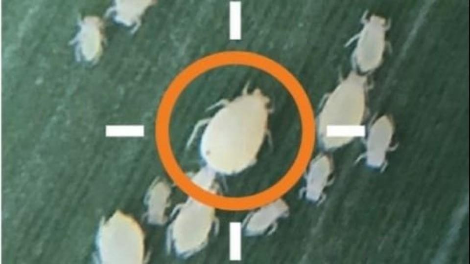 Cómo actuar ante la presencia del ''Pulgón de la caña de azúcar'' —  Agricultura — Dinámica Rural | El Espectador 810
