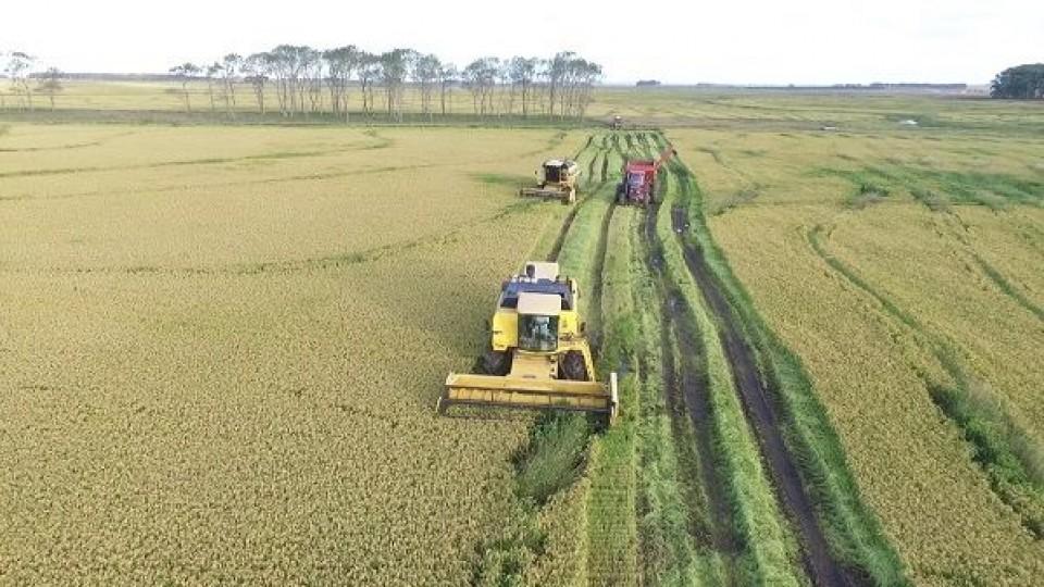En un área cosechada superior al 10%, los rindes de arroz son similares a la zafra pasada —  Agricultura — Dinámica Rural   El Espectador 810