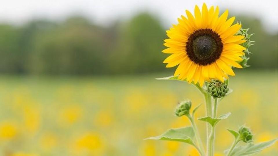 L. Simean: ''El girasol se impone en el esquema agrícola'' —  Agricultura — Dinámica Rural   El Espectador 810